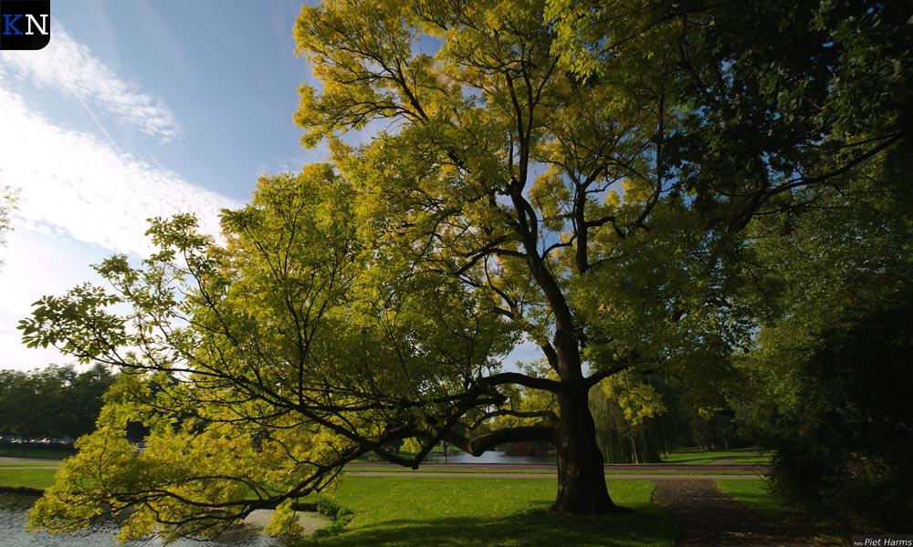Een goudes in het Stadspark is aangemerkt als monumentale boom door de Bomenstichting.