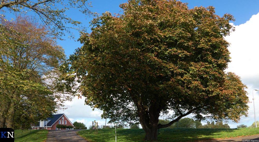 Op Kampereiland is door de Bomenstichting een kastanjeboom aangemerkt als monumentale boom.