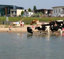 """""""Stier bij strandje gevaarlijker dan zwemmen in IJssel"""" (video)"""