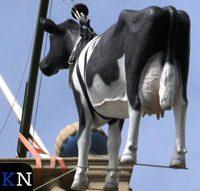Koe gehesen voor Kamper Ui(t)dagen (video)