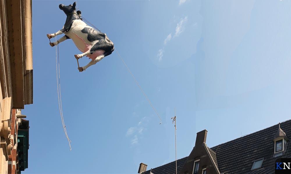 De koe hangt weer aan de Nieuwe Toren in Kampen
