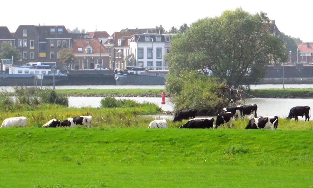"""De stier en """"zijn"""" pinken zijn verderop langs de IJssel geplaatst."""