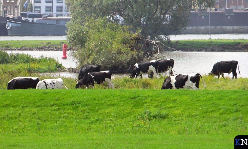 """Pinken en """"hun"""" stier grazen op het toekomstig stadsstrand."""