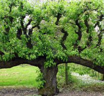 NPV inventariseert op Kampereiland perenbomen