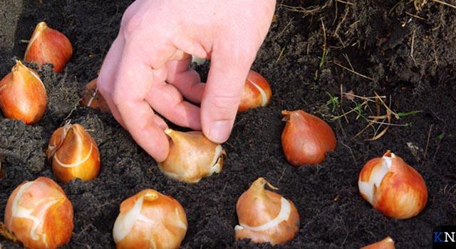 Schenking tulpenbollen aan IJsselheem door Rotary