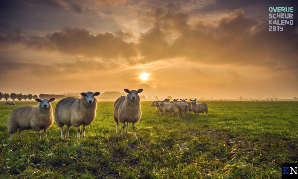 Nieuwsgierige schapen - Bertrik Hakvoort