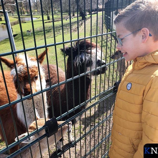 Arne Juffer bij de alpaca's waarvan de donkere later overleed door overmatig voer van bezoekers.