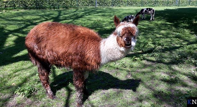 Veel geld ingezameld voor nieuwe alpaca (video)