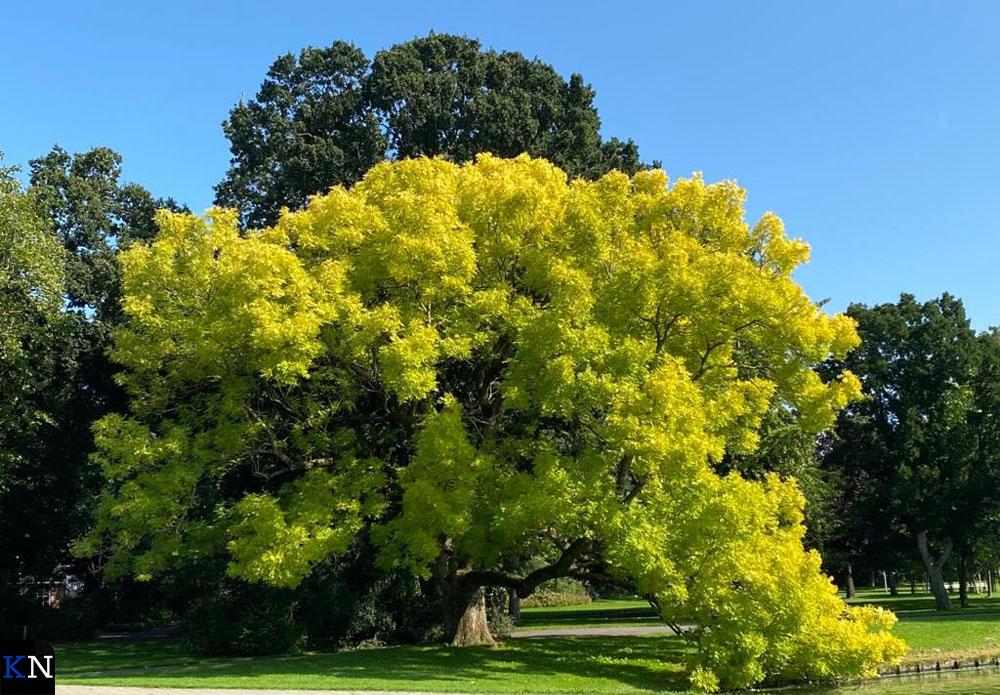 De boom in het Kamper Stadspark die Jennifer Frijlink inspireerde tot een gedicht.