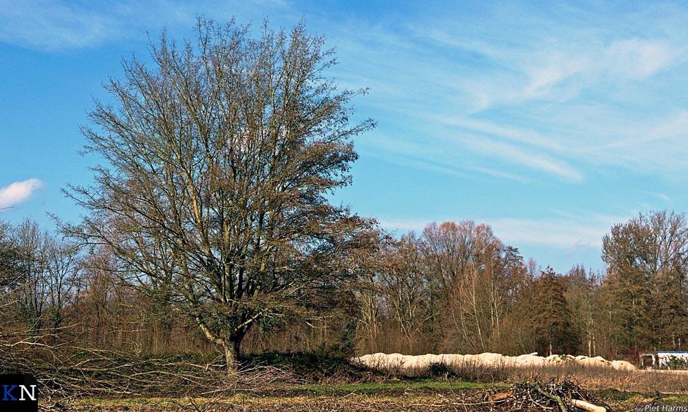 Een eenzame overlever van de massale bomenkap in het Stadspark.