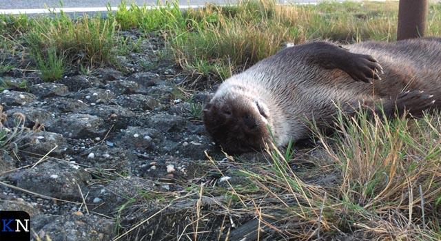 Provincie plaatst rasters ter bescherming overstekende otters