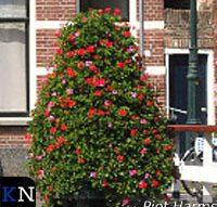 Geraniumpiramides teruggekeerd in binnenstad